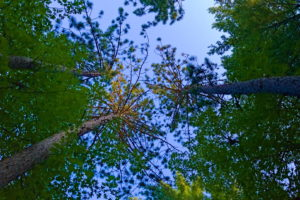 Chain O' Lakes Campground -- looking up at tall red pine trees
